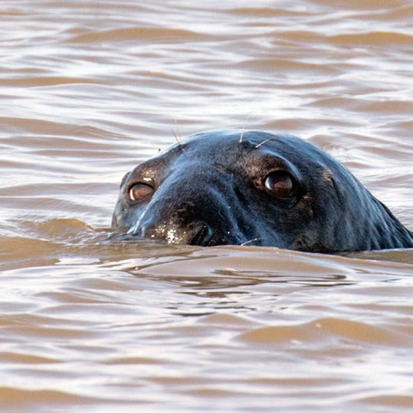 Close up of seal swimming